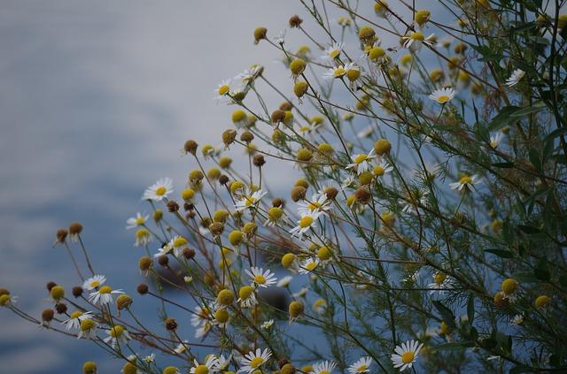 kvetoucí heřmánek